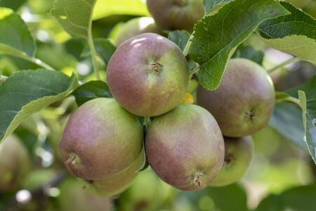 Growth of delicious golden apples in the garden. 免版税图像