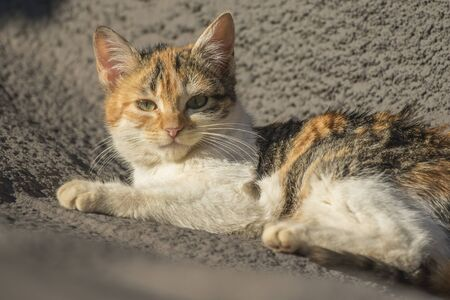 A domestic cat facing lying in the Sun Stock Photo