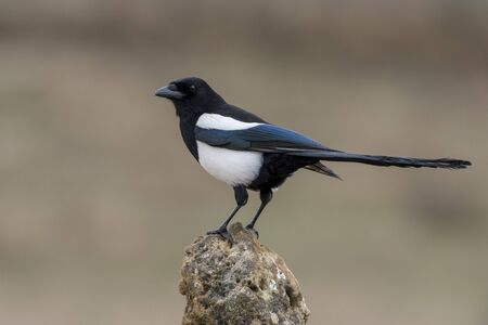 Common magpie, itches itches in its natural environment.