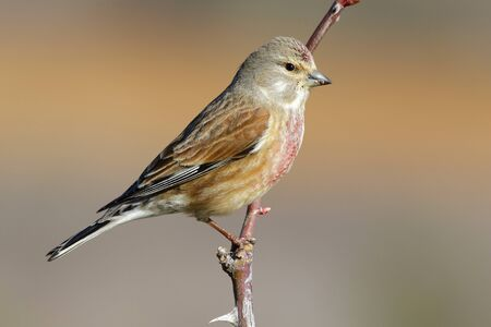 Common linnet, (Carduelis cannabina), single male