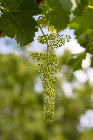 Flowering vine with small grape berries. Young green grape branches in the vineyard in spring time. Spain