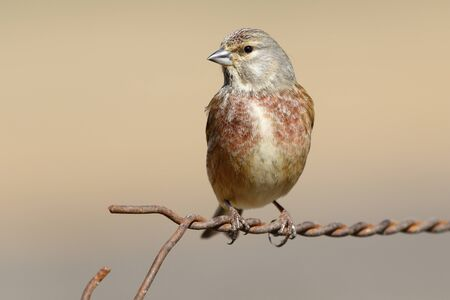 Common linnet, (Carduelis cannabina), single male on wire fence.
