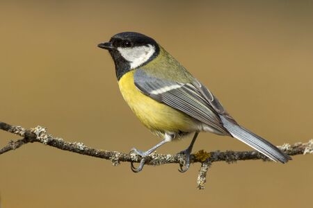 Tit ,( Parus major ) perched on a branch in the sun 免版税图像 - 129991468