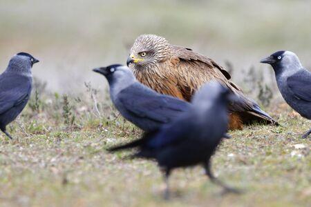 Nibbio bruno Milvus migrans