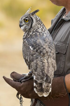 Great Horned Owl (Bubo virginianus) in the falconers fist Stok Fotoğraf