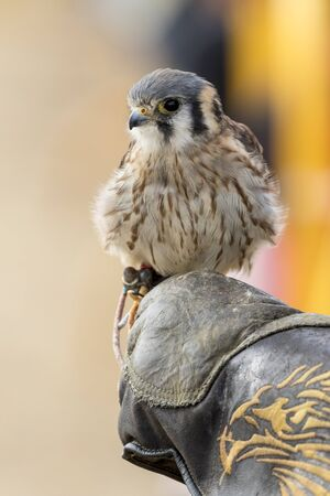 American kestrel in the falconer's fist