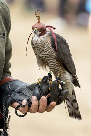 Sparrowhawk, Accipiter nisus in the fist of the falconer Stock Photo