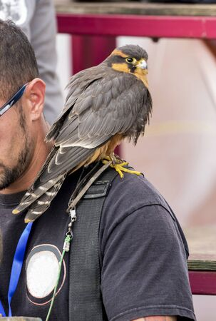 Cernicalo plumb, Falco femoralis on the shoulder of the falconer Stock Photo