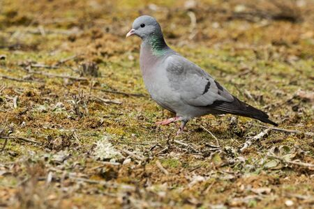 Stock Dove (Columba oenas ) on the meadow Фото со стока