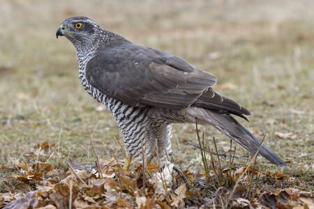 Adult Northern Goshawk. Accipiter gentilis. Spain 版權商用圖片 - 129991560