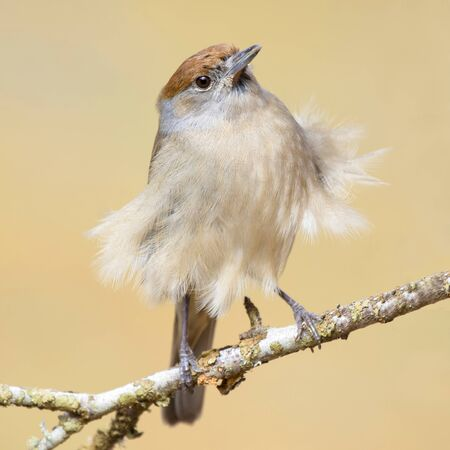 Blackcap (Sylvia atricapilla ) , with feathers in the wind Stock Photo