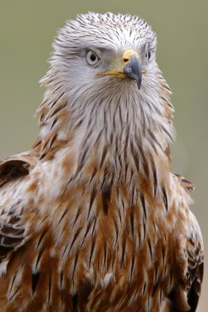 Red kite (Milvus milvus), portrait Фото со стока