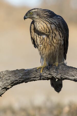 Young goshawk, Accipiter gentilis, perched on a branch of the forest. Spain