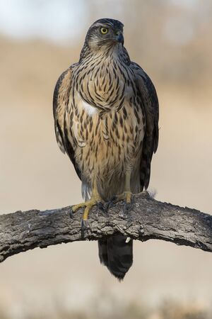 Young goshawk, Accipiter gentilis, perched on a branch of the forest. Spain 版權商用圖片 - 129991579