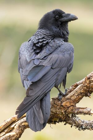 Common Raven (Corvus corax ) perched on a branch