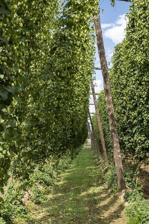 Typical hops plantation in León, northern Spain
