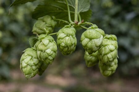 Hop cones on a bush, natural background and selective soft focus. León, northern Spain