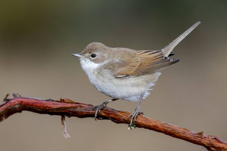 Common whitethroat, Sylvia communis, single bird on branch. Spain