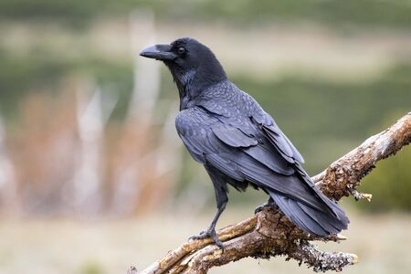 Common raven (Corvus corax), perched on a log. Wild animal life. Stock fotó