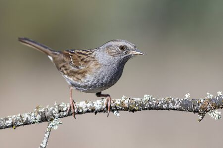Dunnock (Prunella modularis) perched on its perch on a blurred background. Spain Stock fotó