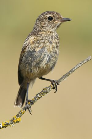 European Stonechat chicken(Saxicola rubicola ) , perched on his perch