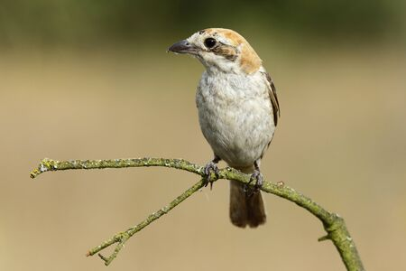 Shrike( Lanius senator) , perched on a branch