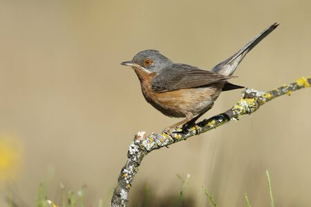 Young subalpine warbler (Sylvia cantillans ) Spain