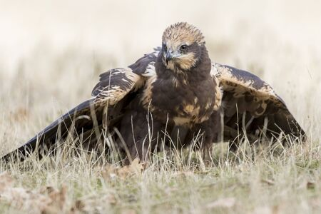 western marsh harrier (Circus aeruginosus) feeding on the ground