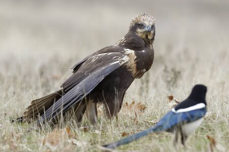 Birds of prey - Marsh Harrier (Circus aeruginosus)