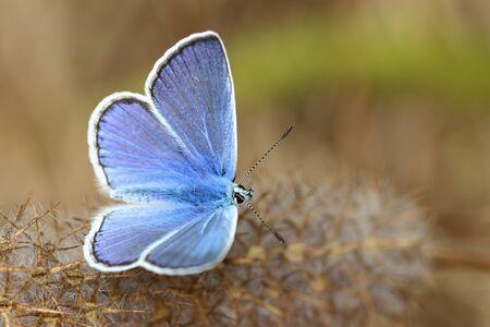 Papillon Polyommatus icarus (mâle)