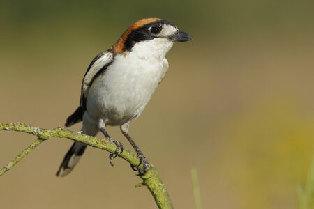 Shrike ( Lanius senator) , perched on a branch