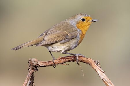 European robin, (Erithacus rubecula), side view on a branch with a blurred background