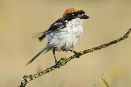 Shrike ( Lanius senator) , perched on a branch after the bath