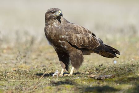 Buzzard (Buteo buteo) perched on the floor