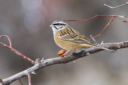 Rock Bunting (Emberiza cia) perched on a branch in autumn