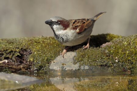 House Sparrow (Passer domesticus) drinking water Stock Photo