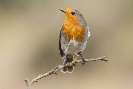 Robin, (Erithacus rubecula) in the branch after the bath Stock Photo