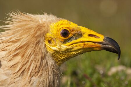 Common Vulture (Neophron percnopterus) detail of his head