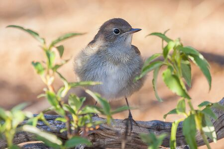 Common Nightingale ( Luscinia megarhynchos )