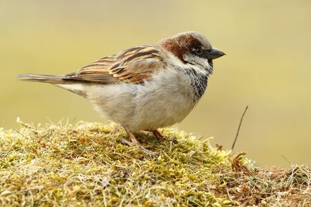 Sparrow (Passer domesticus), perched on boil it