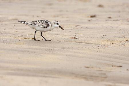 Sanderlings, (Calidris alba), looking for food on the beach