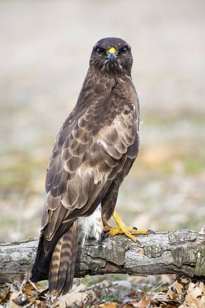Common mousetrap, Buteo buteo, resting in his usual innkeeper