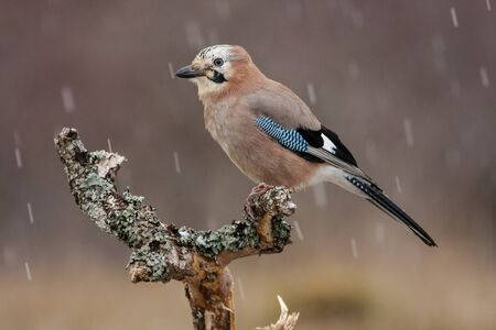 Eurasian Jay (Garrulus glandarius) in winter perched on his usual perch. Leon, Spain. Banque d'images