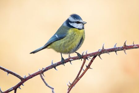 Blue tit, Cyanistes caeruleus, perched on a branch with a clear uniform background. Leon, Spain