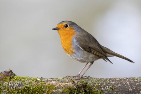 European robin, Erithacus rubecula, perched on a tree branch with moss on a uniform background Stockfoto