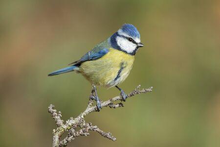 Blue tit, Cyanistes caeruleus, perched on a branch against a uniform green background