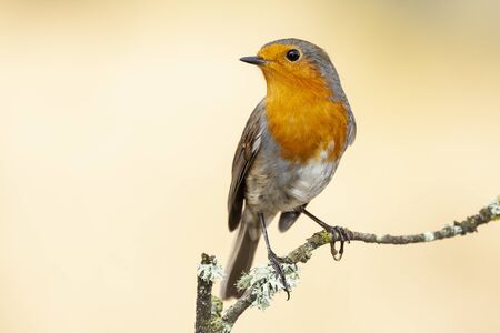 European robin, Erithacus rubecula, perched on a tree branch on a uniform background