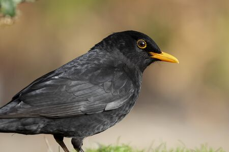 Portrait of Turdus merula (common blackbird) perched in the grass on an unfocused green background