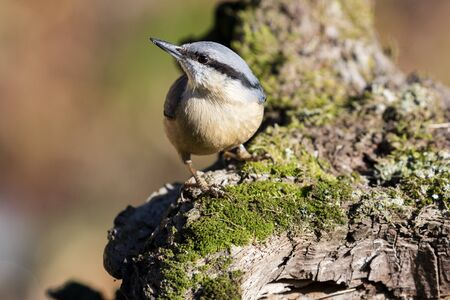 Sitta europaea (Eurasian nuthatch) perched on a mossy trunk. Spain