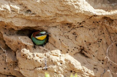 European bee-eater, Merops apiaster, poking its head out of its nest dug into a cut of land. Spain